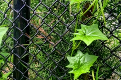 Leaves-Fence-IMG_5536-web
