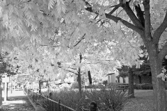Fall-Trees-B&W-IMG_20111122_103025-copy
