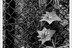 Leaves-Fence-BW-IMG_5536-web