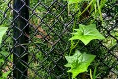 Leaves-Fence-IMG_5536-web
