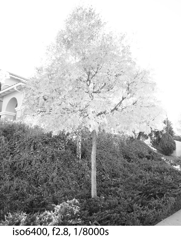 Fall-tree-high-key-BW-iso-6400-PB170005