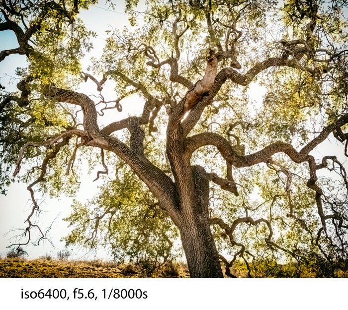 Oak-Tree-analog-PB220016