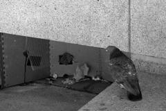 _4200615-Pigeon_B&W-web